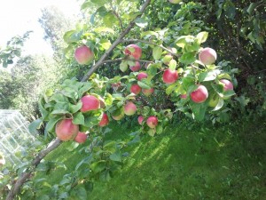 Goda egenodlade äpplen som jag kokat egen varmkall av.